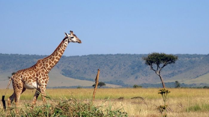 A photo of a Giraffe captured in Masai mara