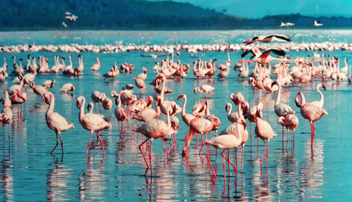 Pink flamingos at Lake Nakuru National Park